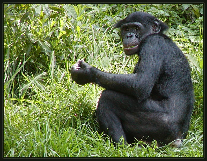 an analysis of the pan paniscus bonobo species of chimpanzee in zaire river basin Horn, a, 1980, some observations on the ecology of the bonobo chimpanzee (pan paniscus, schwarz 1929) near lake tumba, zaire, folia primatologica 34: 145–169 google scholar iucn, 1990, la conservation des écostystèmes forestiers du zaire.